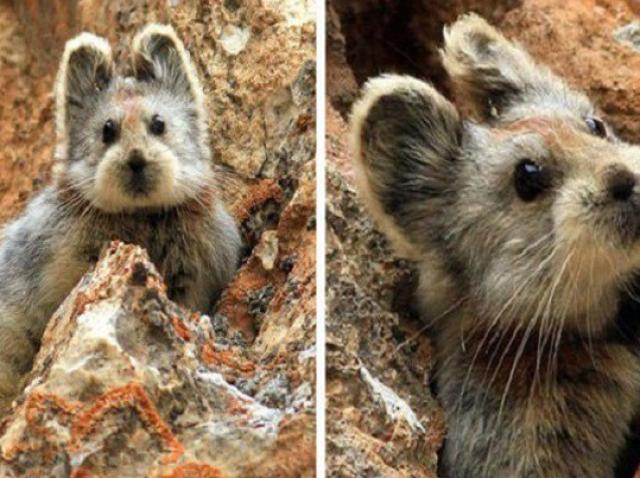 Animalul care nu a mai fost văzut de 40 de ani a reapărut! Imagini uluitoare cu iepurele magic, cel mai rar animal din lume!