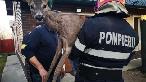 Operaţiunea BAMBI! Un pui de căprioară a fost salvat şi îngrijit după ce a rămas blocat într-un gard de fier-VIDEO