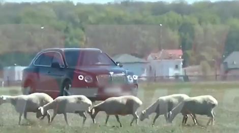Imaginile anului! Gigi Becali, la plimbare cu oile! Cum a fost surprins omul de afaceri din Pipera