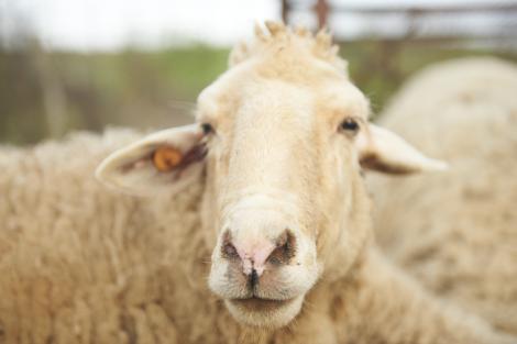 """Ca la noi, la nimeni! Amendă de 15.000 de lei pentru un bătrân care a ieșit să își adune oile. """"Nu avea declarația pe propria răspundere, nereprezentând un motiv întemeiat"""""""