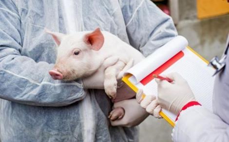 Pesta porcină a revenit. Două focare au fost descoperite, într-un județ din țară. autoritățile au luat măsuri drastice
