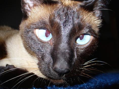 Pisica infractoare! Caz incredibil în Sri Lanka! O felină care fusese arestată pentru trafic de droguri a evadat din închisoare!