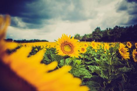 Știai? De ce floarea soarelui se orientează mereu către soare. Are ceva ce alte plante nu au