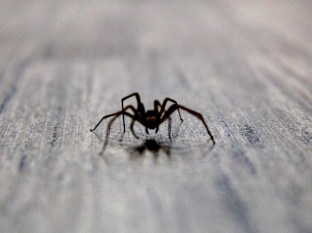 Păianjen pe podea, pe care nu ar trebui sa il omori pentru ca te scapa de daunatori