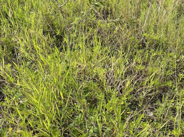 Imagine cu un șarpe ascuns în iarbă