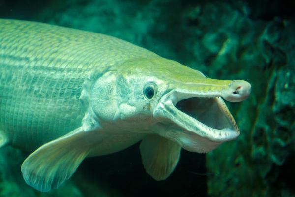 peste aligator cu gura deschisa stand in apa