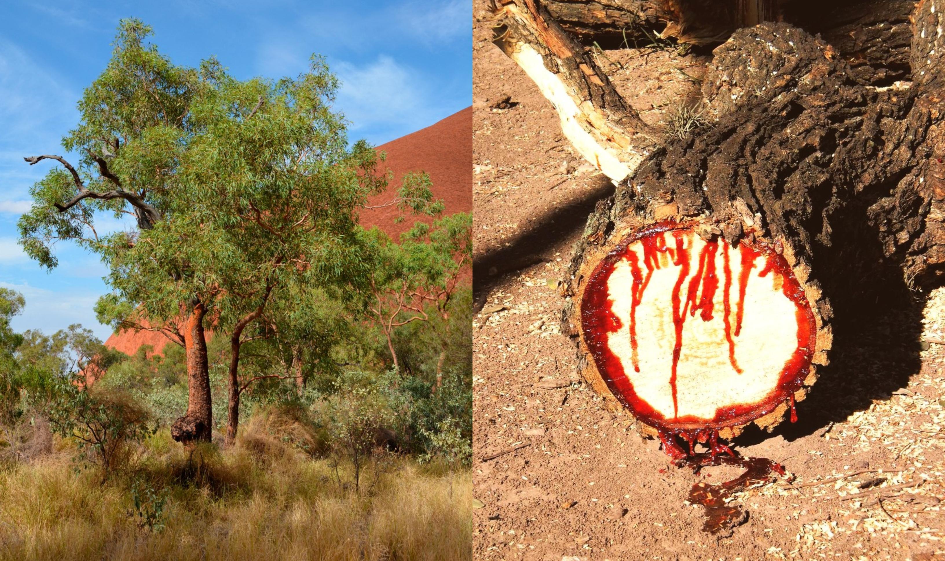 """Copacul rar care """"sângerează"""" de fiecare dată când este tăiat, zgâriat sau rupt. Seva lui rară este cautată în întreaga lume"""