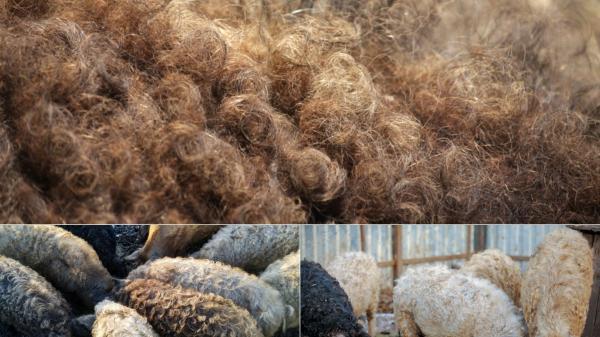 porcul mangalita care are o blana asemanatoare cu cea a oii