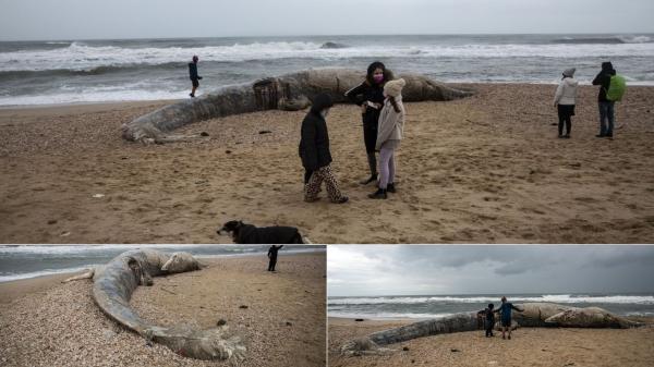 balena de 17 metri ucisa de poluarea cu gudron de pe plajele israelului