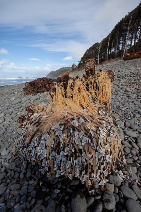 garnacte de gasca pe plaja