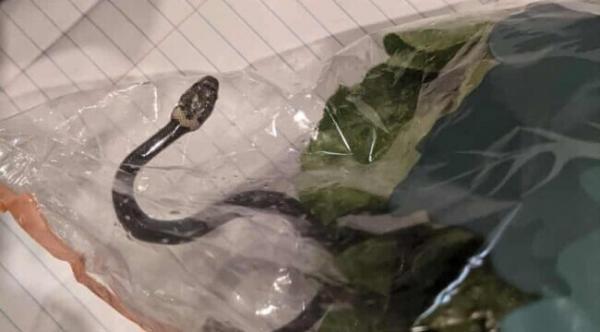 Șarpele, fotografiat în punga cu salată