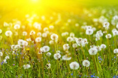 Puful păpădiilor luminat de soarele de mai