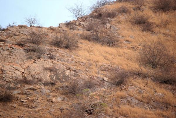 fotografie in care apare camuflat un leopard