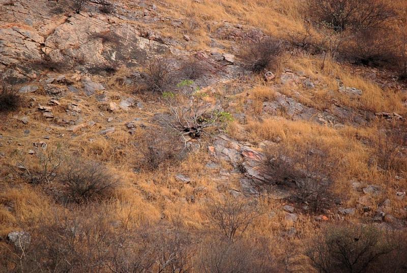 leopardul surprins de fotograf, in natura
