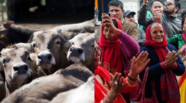 Un vițel cu două capete s-a născut în India