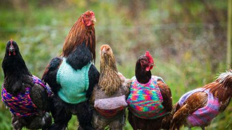 Confecționează hăinuțe pentru găini! Înaripatele sunt atât de drăgălașe îmbrăcate!