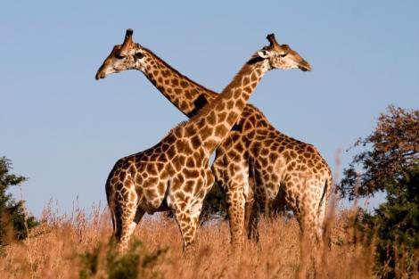 Pe planetă există patru specii de girafe! Cum arată acestea și care sunt diferențele?