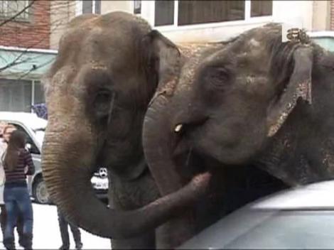 Elefanti la plimbare pe o strada din Baia Mare