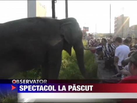 Spectacol la pascut! Elefanti la Drobeta Turnu Severin!