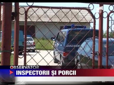 Scandal intre inspectorii sanitar-veterinari si crescatorii de porci