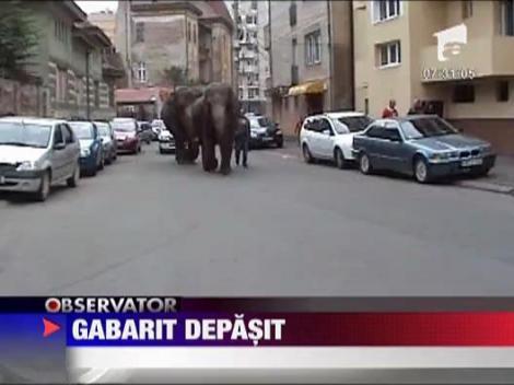 Elefanti la plimbare prin Satu Mare