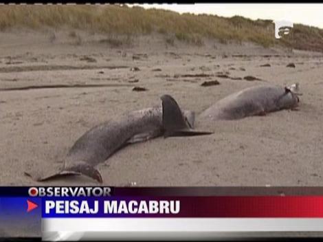 Peisaj macabru! 35 de balene moarte pe tarm