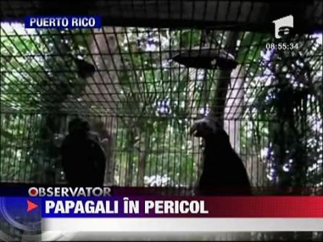 Papagalii din Puerto Rico, in pericol