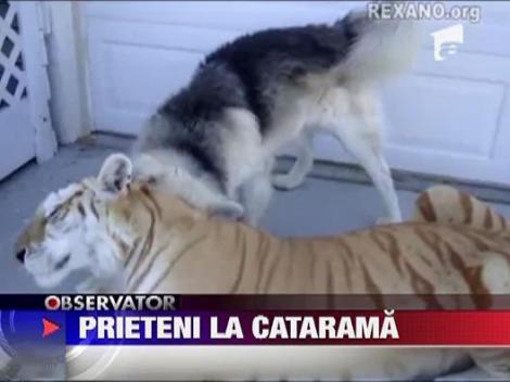 Prietenie bizara intre un tigru si un caine