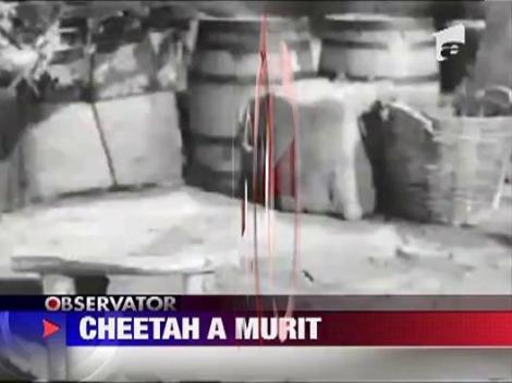 Cheeta, cimpanzeul din Tarzan, a murit in seara de Craciun