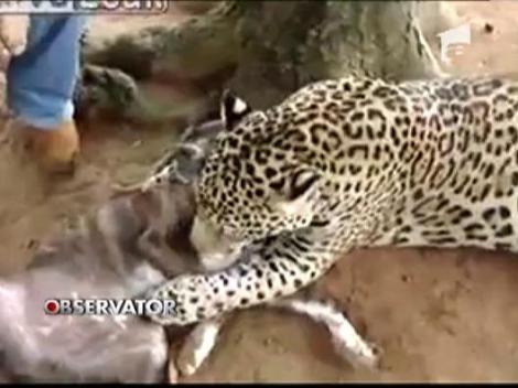 Iubire neconditionata intre un leopard si un caine