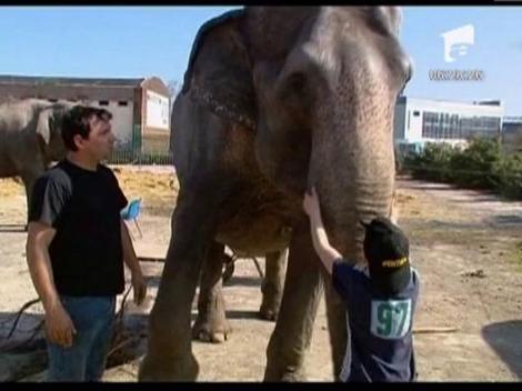 Un elefant din Irlanda a evadat dintr-un circ