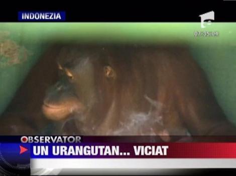 Indonezia: O femela urangutan dintr-o gradina zoologica s-a apucat de fumat