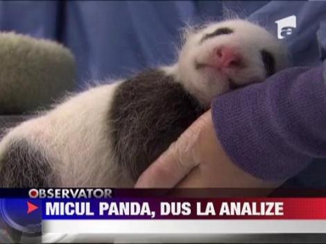 Pui de urs panda, la control