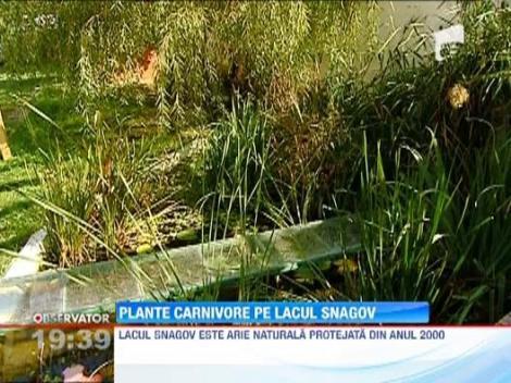 Incredibil! Specii de plante carnivore au fost descoperite pe lacul Snagov