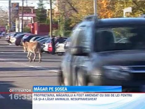 Un magar a iesit la plimbare prin centrul Pitestiului