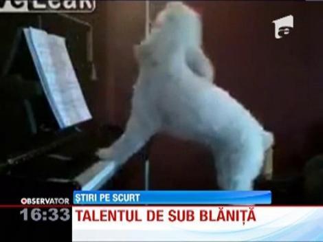 VIDEO! Un caine din Statele Unite este mare cantaret... la pian