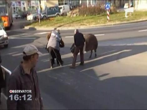 Povestea porcului: Presimtind ca-i vine sfarsitul, animalul a tulit-o cat ai zice peste pe strazile orasului Baia Mare