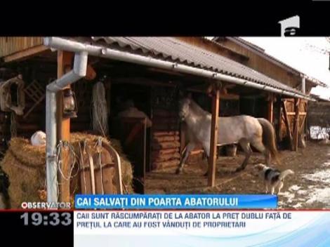 Un transilvanean salveaza caii dusi la abator si ii dreseaza pentru echitatie