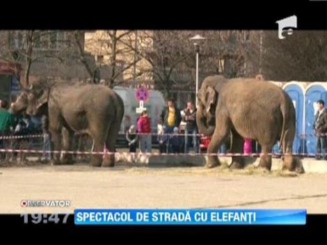 Spectacol cu elefanti in centrul orasului Baia Mare