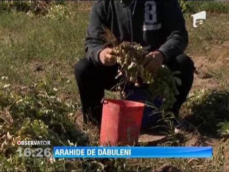 Arahide de Dabuleni