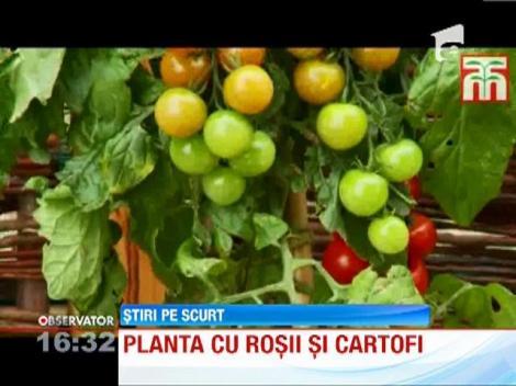 A aparut planta hibrid care produce rosii si cartofi in acelasi timp