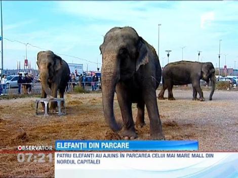 Patru elefanţi au poposit în parcarea celui mai mare mall din nordul Capitalei