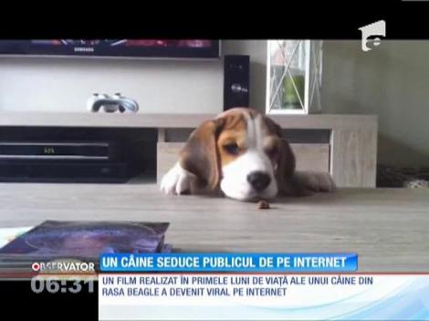 Un câine din rasa Beagle face senzație pe internet cu documetarul despre viața sa
