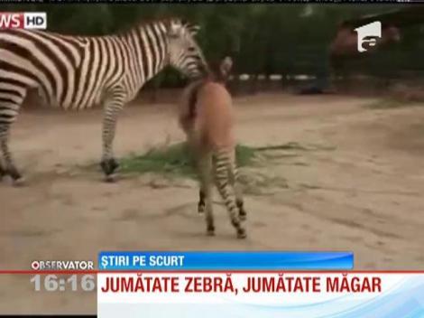 Un pui, pe jumătate zebră şi pe jumătate măgar, s-a nascut într-o grădină zoologică din Mexic
