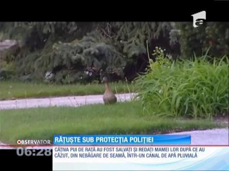 Răţuşte sub protecţia poliţiei