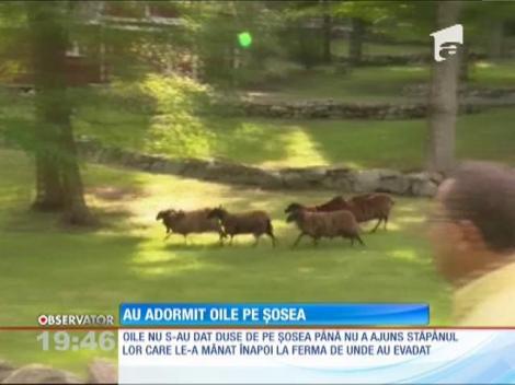 O turmă de oi a adormit pe o şosea americană