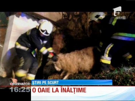 Austria: Un echipaj de pompieri, chemat să salveze o oaie de pe acoperişul unei case
