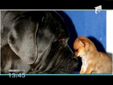 Prietenie pe viață între un chihuahua si un mastiff