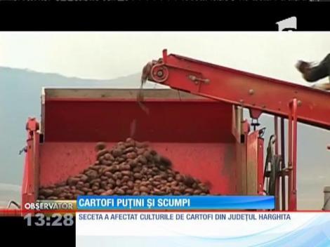 Seceta a afectat culturile de cartofi din judeţul Harghita