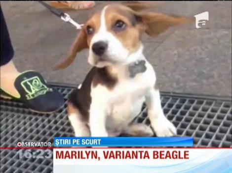 Marilyn Monroe, în varianta Beagle! Acest cățel de-a dreptul adorabil face înconjurul lumii pe internet